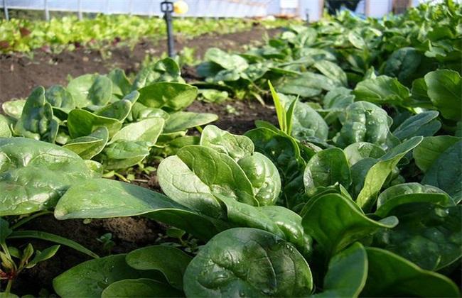 冬天菠菜 如何长期保存