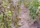 温室番茄落花落果预防措施