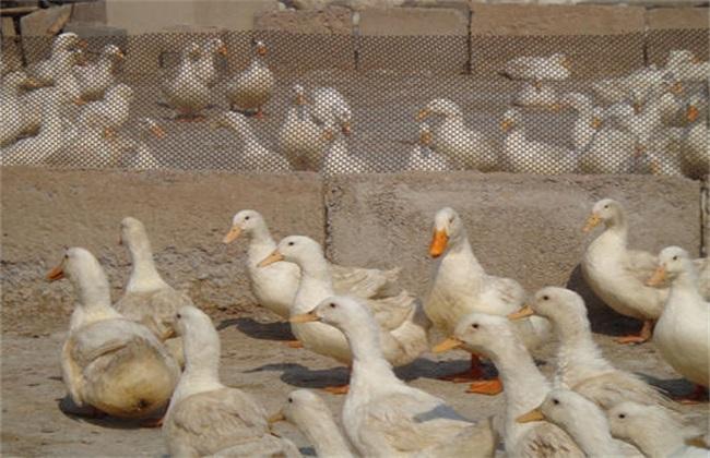种鸭的养殖管理