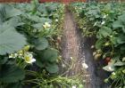 草莓旺长怎么办