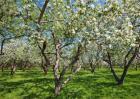 苹果春季管理要点