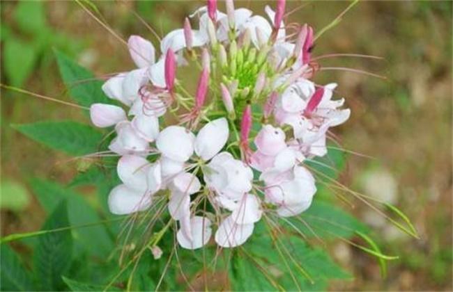 醉蝶花的养殖方法和注意事项