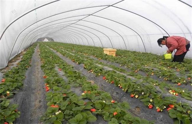 冬季大棚草莓如何补光