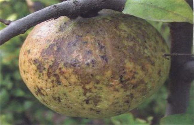 苹果煤污病的防治办法