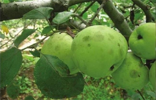 苹果煤污病 防治办法