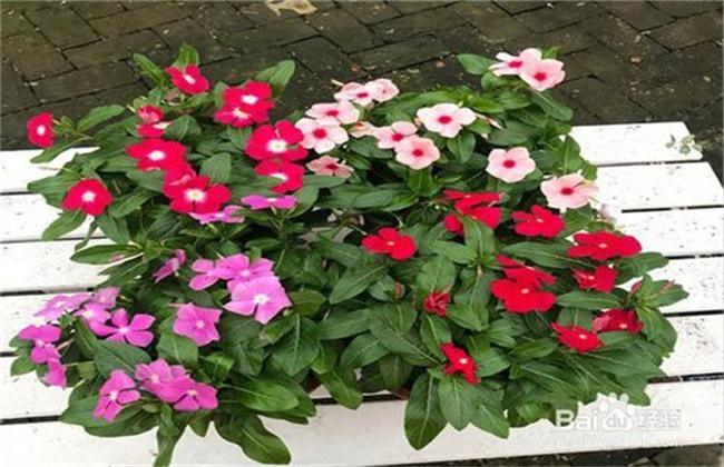 紫荆花的养殖方法和注意事项