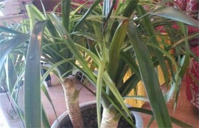 龙须兰叶子发黄是怎么回事