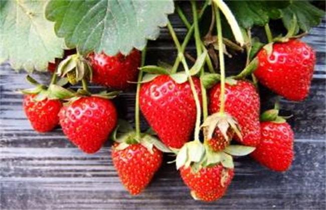 草莓革腐病的表现