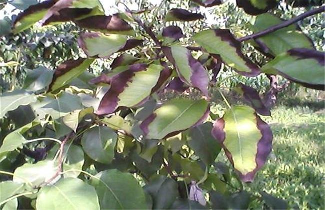 梨树褐斑病怎么治疗