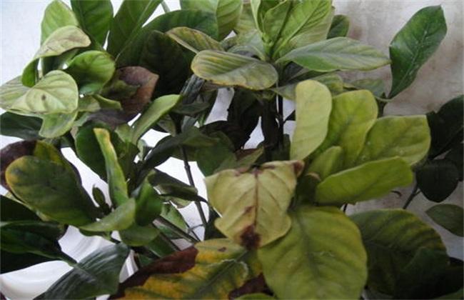栀子花叶尖干枯褐色图片