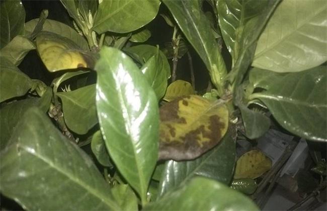 栀子花叶尖干枯的原因图片