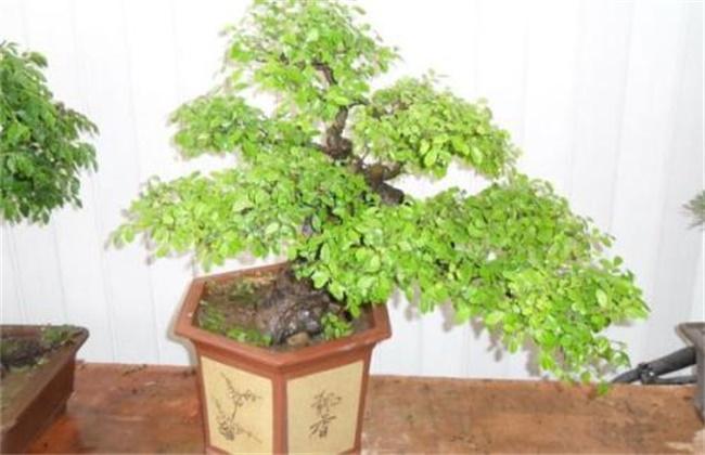 冬青树的养殖方法和注意事项