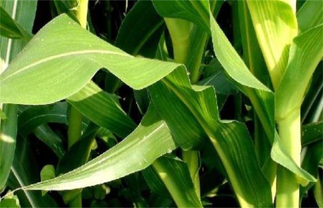 玉米叶子打卷是怎么回事