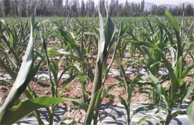 玉米 叶子打卷 怎么回事