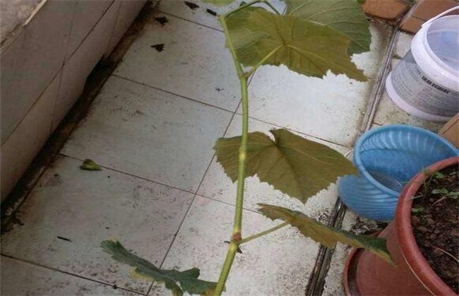葡萄僵苗 如何处理