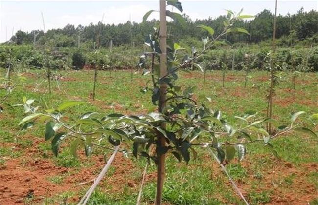 苹果树拉枝 有哪些作用