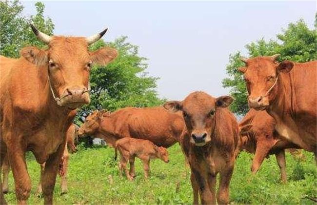 农村散养牛 有哪些弊端