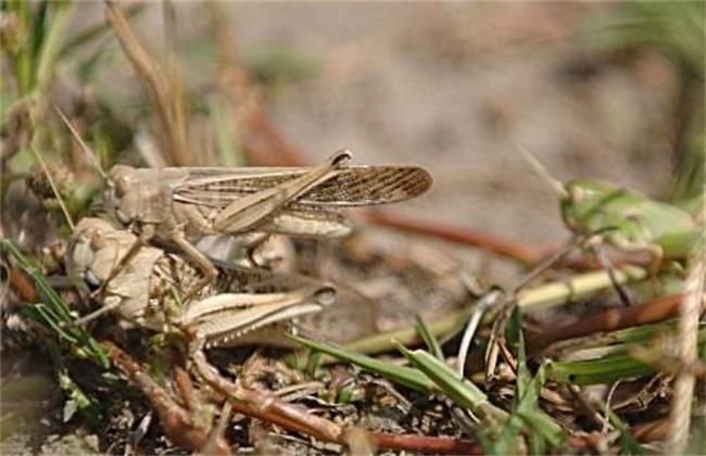 蝗虫养殖注意事项