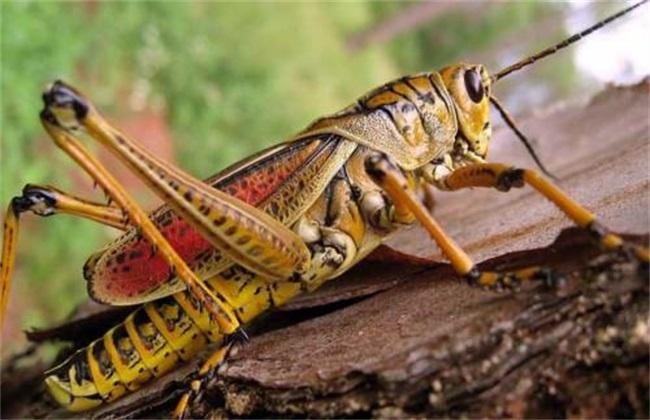 蝗虫养殖 注意事项