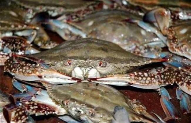 梭子蟹养殖注意事项