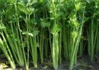 芹菜种植注意事项