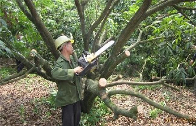 荔枝常见的修剪误区
