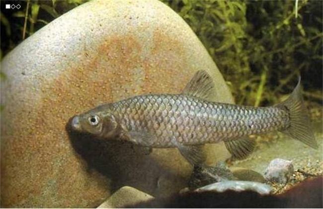 麦穗鱼的养殖技巧
