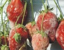 草莓灰霉病的防治措施