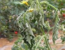 番茄青枯病的防治措施