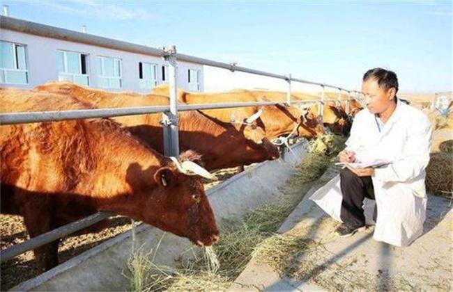 冬季肉牛增膘技巧