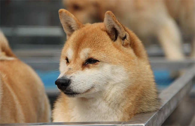 柴犬价格多少钱一只