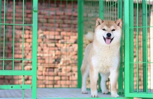 柴犬价格 多少钱一只