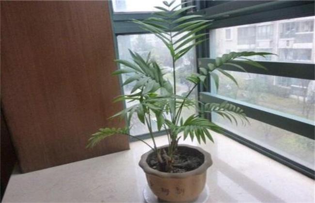 散尾葵冬季怎么养