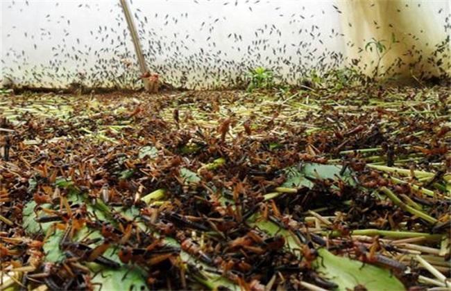 蚂蚱养殖 注意事项