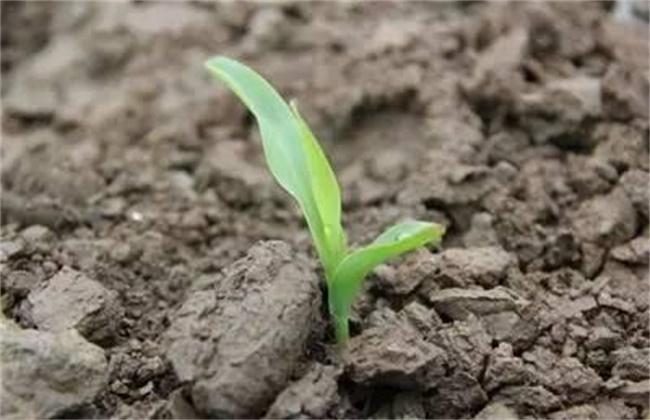 玉米出苗不齐原因及预防措施