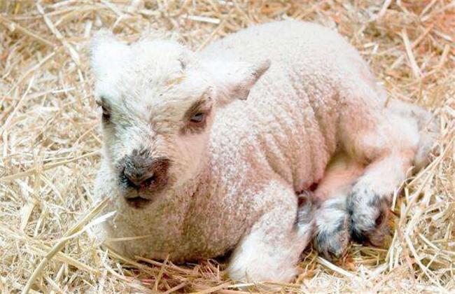 新生羔羊站不起来怎么办