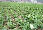 油菜越冬保苗措施