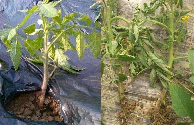番茄定植就黄头怎么办