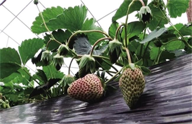 冬季大棚草莓不膨果怎么办
