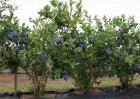 蓝莓肥害预防措施