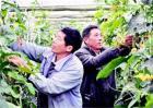 大棚丝瓜蘸花技术