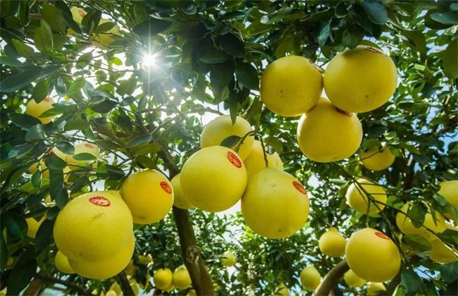 柚子 功效与作用 禁忌