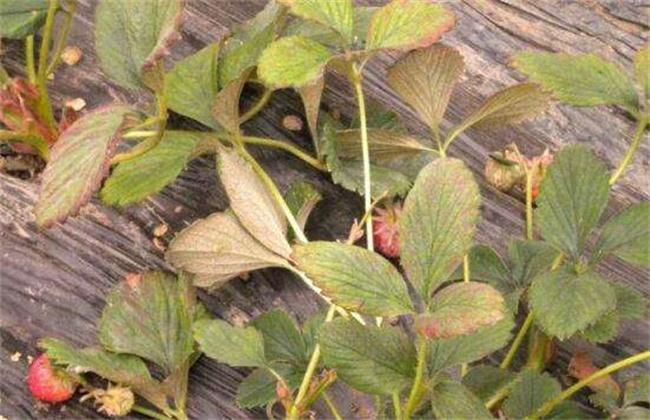 如何防治草莓红蜘蛛