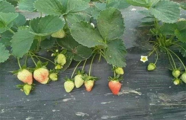 如何提高草莓膨果速度
