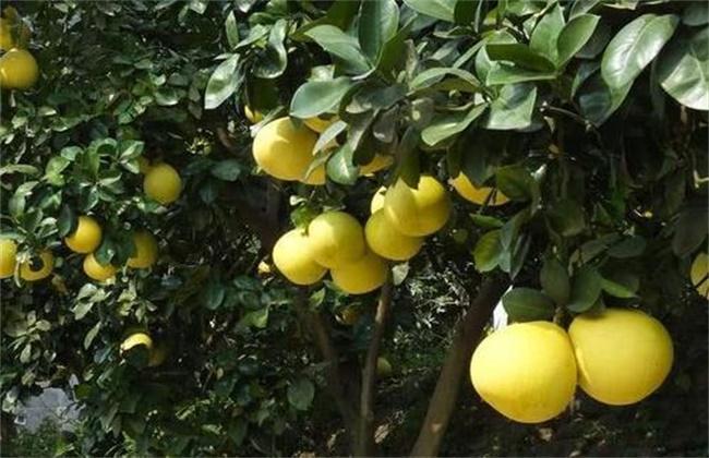 柚子树遭受冻害后怎么挽救