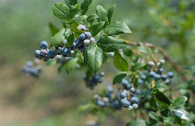 蓝莓肥害 是什么原因