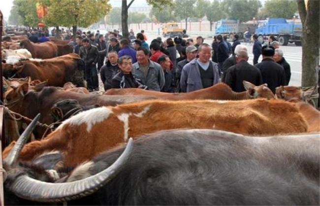 买牛时需要注意哪些问题