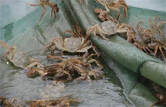 螃蟹的养殖风险