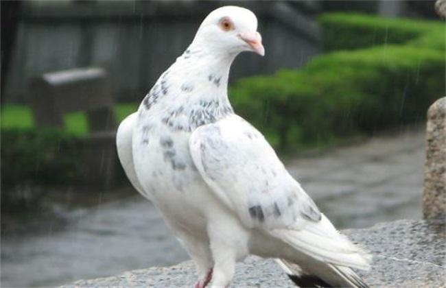 种鸽是鸽子养殖过程中极重要的一部分