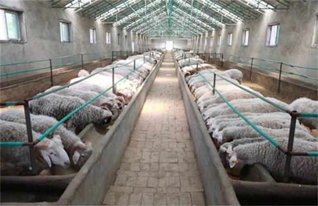 发酵床养羊 注意事项